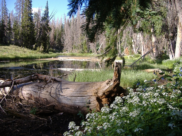 Aspen Pond at Cedar Breaks Utah. July.
