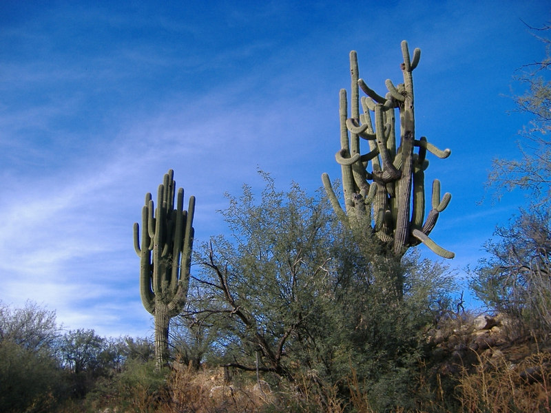 One straight laced and one wild saguaro -- both impressive.