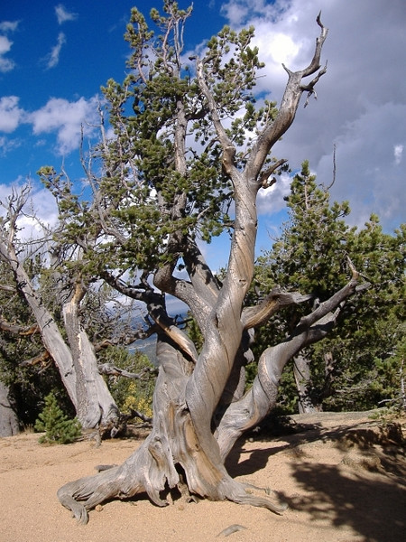 Bristlecone pine tree at the end of the trail near 10,000 feet in elevation.