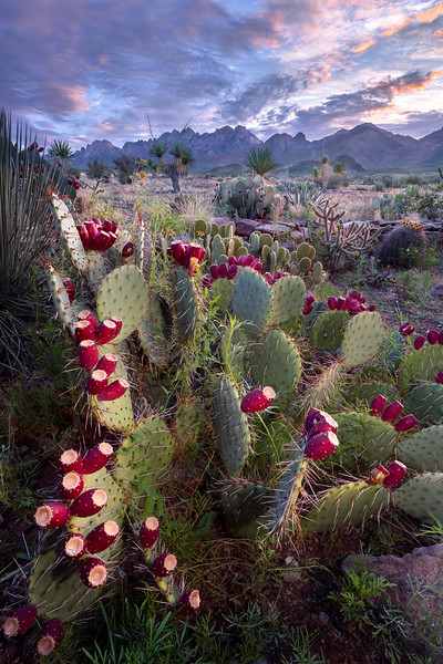 Prickly Pear Sunrise 2016