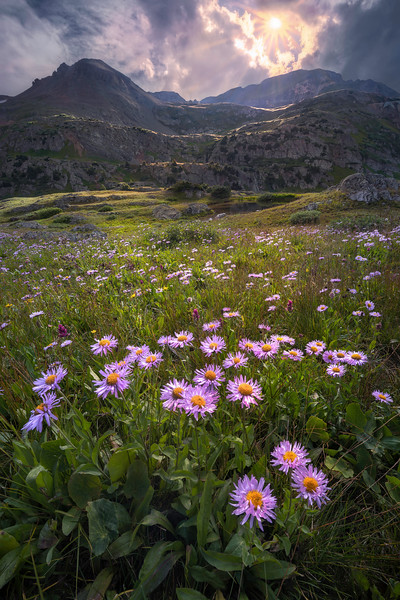 Showy Daisies In The Afternoon Light