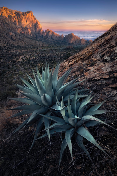 Chisos Agave