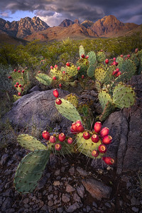 Organ Mountain Prickly Pear