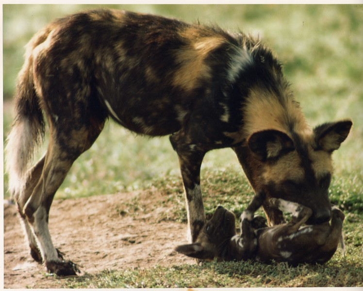 African wild dog, endangered.