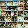 Collection of Achatinella, Hawaiian land snails. Most now Extinct.