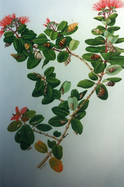 Achatinella on Hawaiian Ohia branch