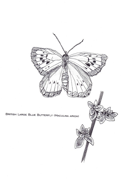 British Large Blue Butterfly (Maculina Arion); local extinction and then re-introduced to Britain.