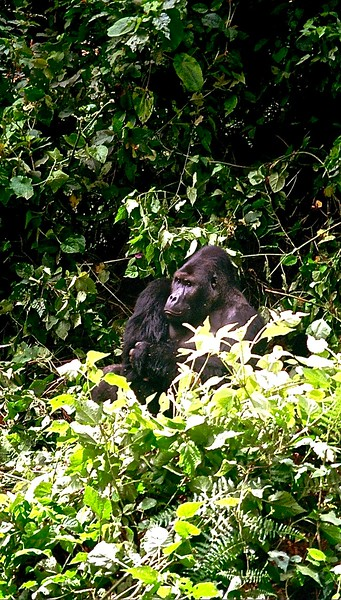 Gorilla gorilla agrauri:  Eastern Lowland gorilla