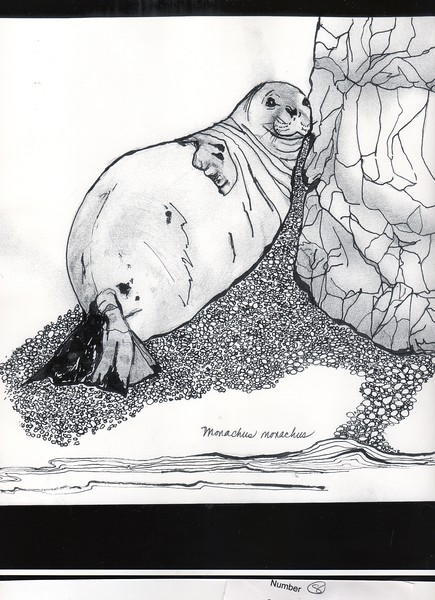 Mediterranean Monk Seal, endangered; drawing by Lorene Walter.