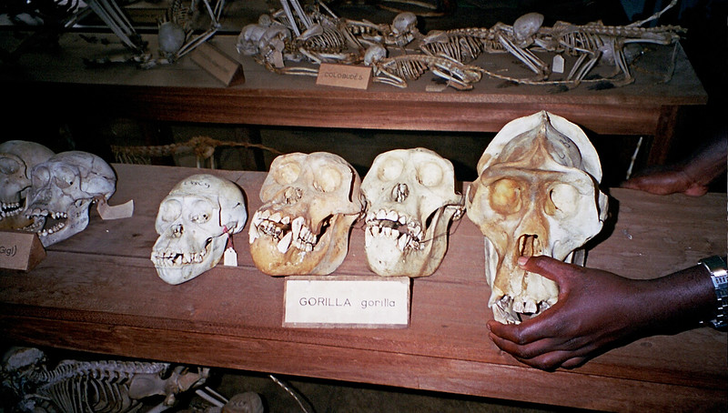 In an almost forgotten museum in the Democratic Republic of Congo, skulls of animals  testify about what once was common and now is rare.