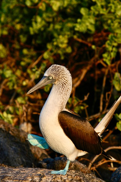 Bluefooted Booby