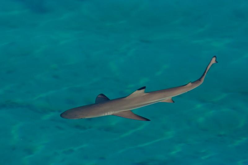 Blacktipped Reef Shark