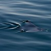 Mobula (Devil Ray)