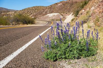El Camino del Rio: Texas Bluebonnet