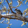 San Solomon Cienega: Ladder-Backed Woodpecker