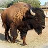 Indian Cliffs Ranch : Bison