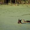 Paradise Pond: Mallards