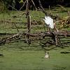 Paradise Pond: White Ibis