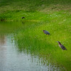 Green Herons @ Our Pond