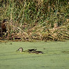 Paradise Pond: Green Heron & Mallards