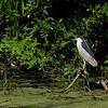 Paradise Pond: Black-Crowned Night Heron