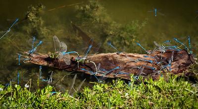 Dragonflies and Damselflies@ Lot 408 @ GWRVR, Port Aransas, Texas. 14 Oct 2014