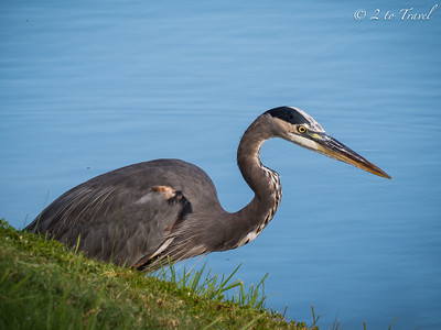 Gulf Waters RV Resort - Port Aransas, Texas - our resident GBH is back. 15 Oct 2014