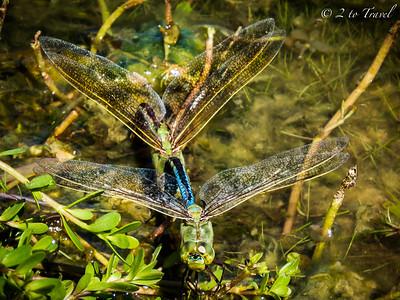 Dragonflies @ Lot 408 @ GWRVR, Port Aransas, Texas. 14 Oct 2014