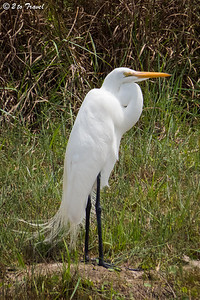 Great Egret at Gulf Waters RV Resort. 29 Mar 2014