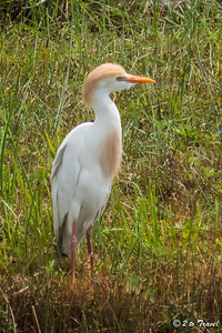 Cattle Egret at Gulf Waters. 29 Mar 2014