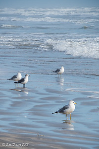 On the beach at Gulf Waters RV Resort; wading gulls on shore. 4 Jan 2014