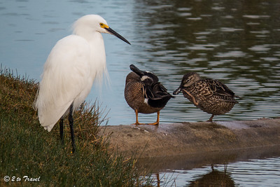Snowy Egret with blue-winged teal pair @ Gulf Waters RV Resort. 11 Jan 2014