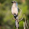 Scotsman Trail - Western Scrub Jay