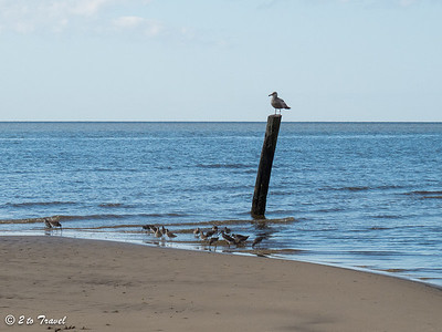 Remnants of the old piers make excellent perches for the birds -- in this case, a gull -- with wilets in search of breakfast at the base of the pole. Waveland, MS - 7 Apr 2013
