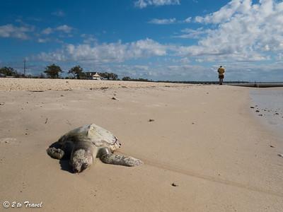 Stranded Kemp's Ridley on the beach. Waveland, MS - 7 Apr 2013