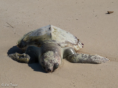 … it's a Kemp's Ridley sea turtle.  It is one of the rarest and highly endangered. Waveland, MS - 7 Apr 2013