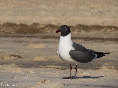 Laughing Gull on the beach east of the pier. Waveland, MS - 8 Apr 2013