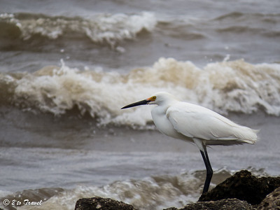 Buccaneer State Park - Snowy Egret on the small beach just outside the park. Waveland, MS - 9 Apr 2013