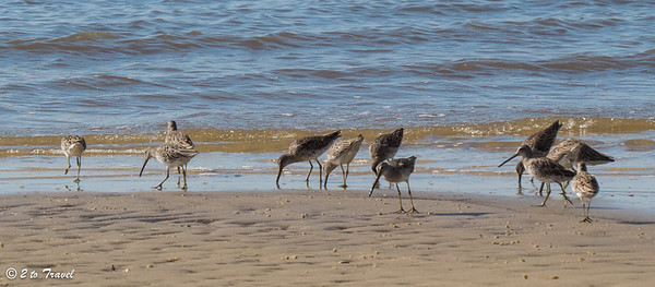 Willets in search of breakfast at the edge of the surf. Waveland, MS - 7 Apr 2013