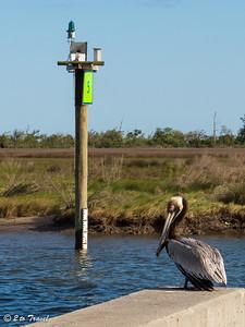 Brown Pelican in breeding plumage at the old pier near the Silver Slipper Casino. 7 April 2013
