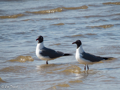 Pair of Laughing Gulls. Waveland, MS - 7 April 2013