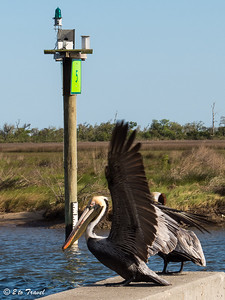 Brown Pelicans in breeding plumage at the old pier near the Silver Slipper Casino. 7 April 2013