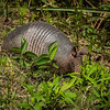 Gulf State Park: Hugh S. Branyon Backcountry Trail walk - nine-banded armadillo on the Rosemary Dunes trail.<br /> Orange Beach, AL - 5 May 2013