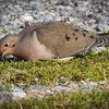 Maxwell AFB FamCamp - Mourning Dove.<br /> Montgomery, AL - 28 Feb 2013