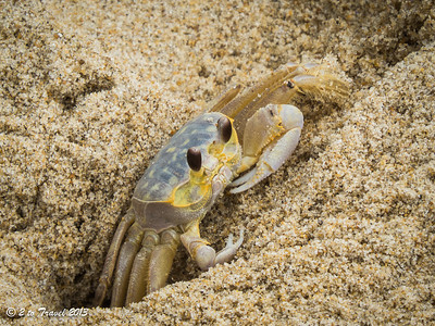 Ghost Crab on the beach at Sea Mist RV Park. Virginia Beach, VA - 21 Jun 2013
