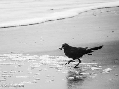 Boat-tailed grackle on the beach at Sea Mist RV Park. Virginia Beach, VA - 21 Jun 2013