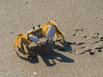 Ghost Crab on the beach at Sea Mist RV Park. Virginia Beach, VA - 15 Jun 2013