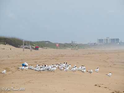 Royal Terns on the beach at Sea Mist RV Park. Virginia Beach. VA - 19 Jun 2013