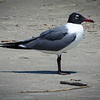 Stewart Beach - Laughing Gulls