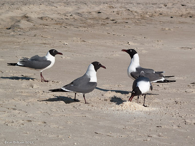 Hatteras Beach fronting Camp Hatteras - Laughing Gulls feasting on bread crumbs someone left on the beach.